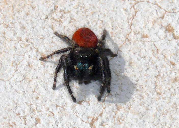Black jumping spider with red dot - photo#2